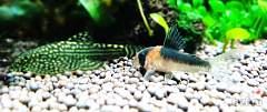 Нажмите на изображение для увеличения Название: Corydoras adolfoi 1.jpg Просмотров: 25 Размер:86.1 Кб ID:3052442